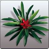 小红星(菠萝花,千禧星)
