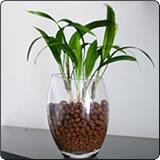 小棕竹(水培)(观音竹、筋头竹)