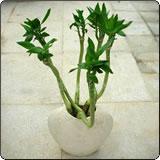 水培观音竹(凤尾竹、蓬莱竹)