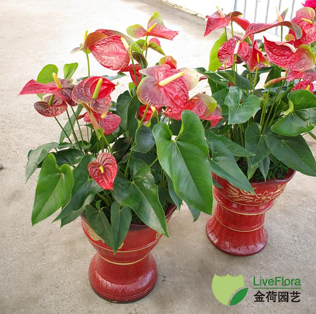红掌 安祖花、火鹤花(2)
