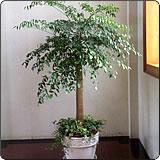 单杆幸福树(辣椒树、山菜豆树、接骨凉伞、绿宝)